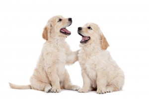 two-happy-labrador-puppies-ROYAL-CANIN®
