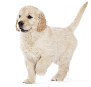 golden-retriever-puppy-ROYAL-CANIN®