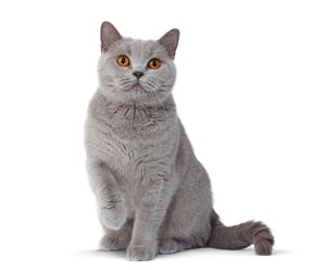 silver-cat-ROYAL-CANIN®