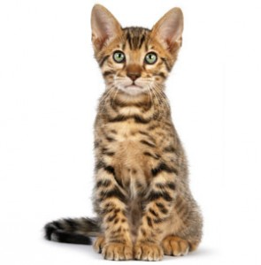 bengal-kitten-ROYAL-CANIN®