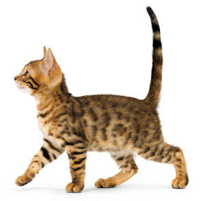 pre-weaning-bengal-kitten-ROYAL-CANIN®