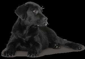 Labrador_127021