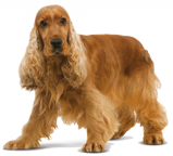 cocker-spaniel-ROYAL-CANIN®