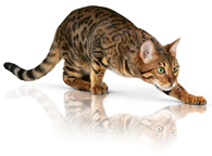 playing-bengal-ROYAL-CANIN®