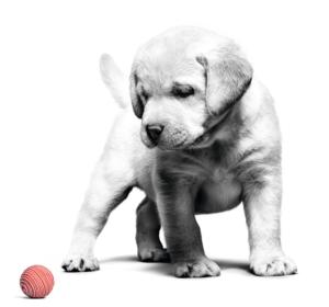 Puppy Labrador Birth Growth