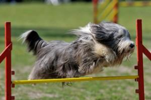 agility large
