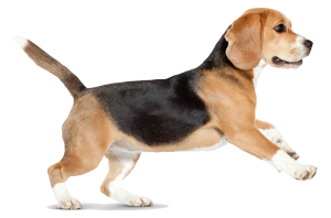 beagle-ROYAL-CANIN®