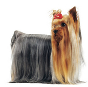 yorkshire-terrier-ROYAL-CANIN®