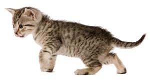 egyptian-may-kitten-ROYAL-KITTEN®
