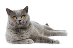 Grey-British-Shorthair-ROYAL-CANIN®