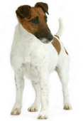 jack-russell-ROYAL-CANIN®