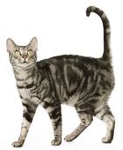 Tabby-Cat-ROYAL-CANIN®