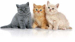 british-shorthair-kittens-ROYAL-CANIN®