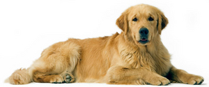 golden-retriever-ROYAL-CANIN®