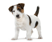 Jack-Russell-Puppy-ROYAL-CANIN®