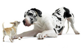 dalmatian-and-chihuahua-big-dog-small-dog-ROYAL-CANIN®