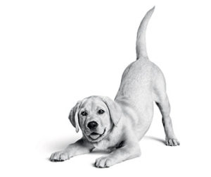 labrador in black and white