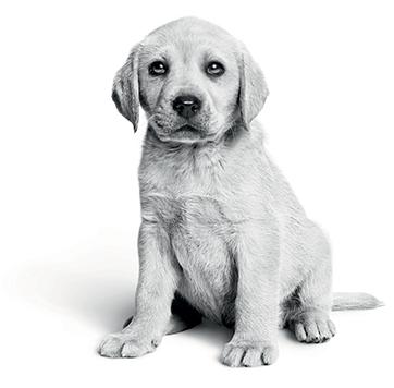 puppy-stock