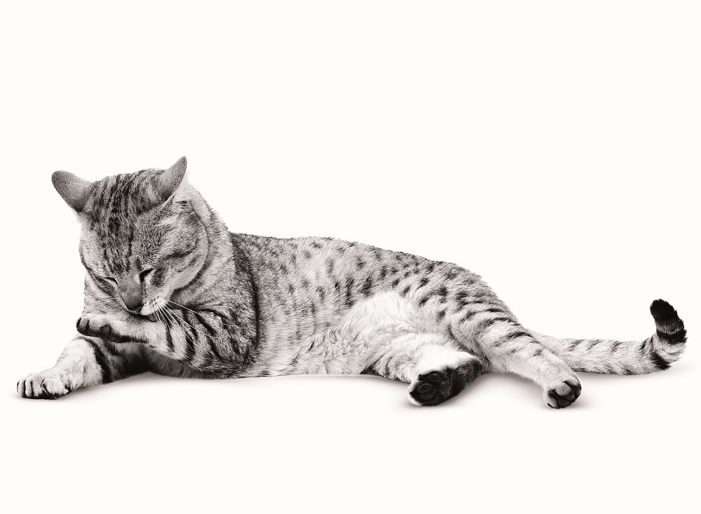 cat cleaning itself ROYAL CANIN®
