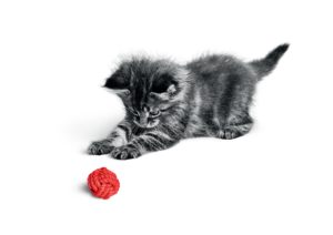 royal-canin-kitten-playing