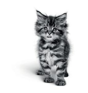 Kitten MaineCoon