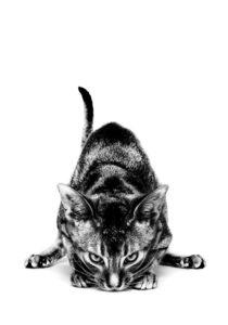royal-canin-striking-cat