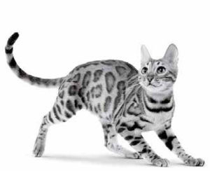royal-canin-bengal-cat