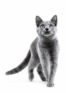 Grey cat ROYAL CANIN®