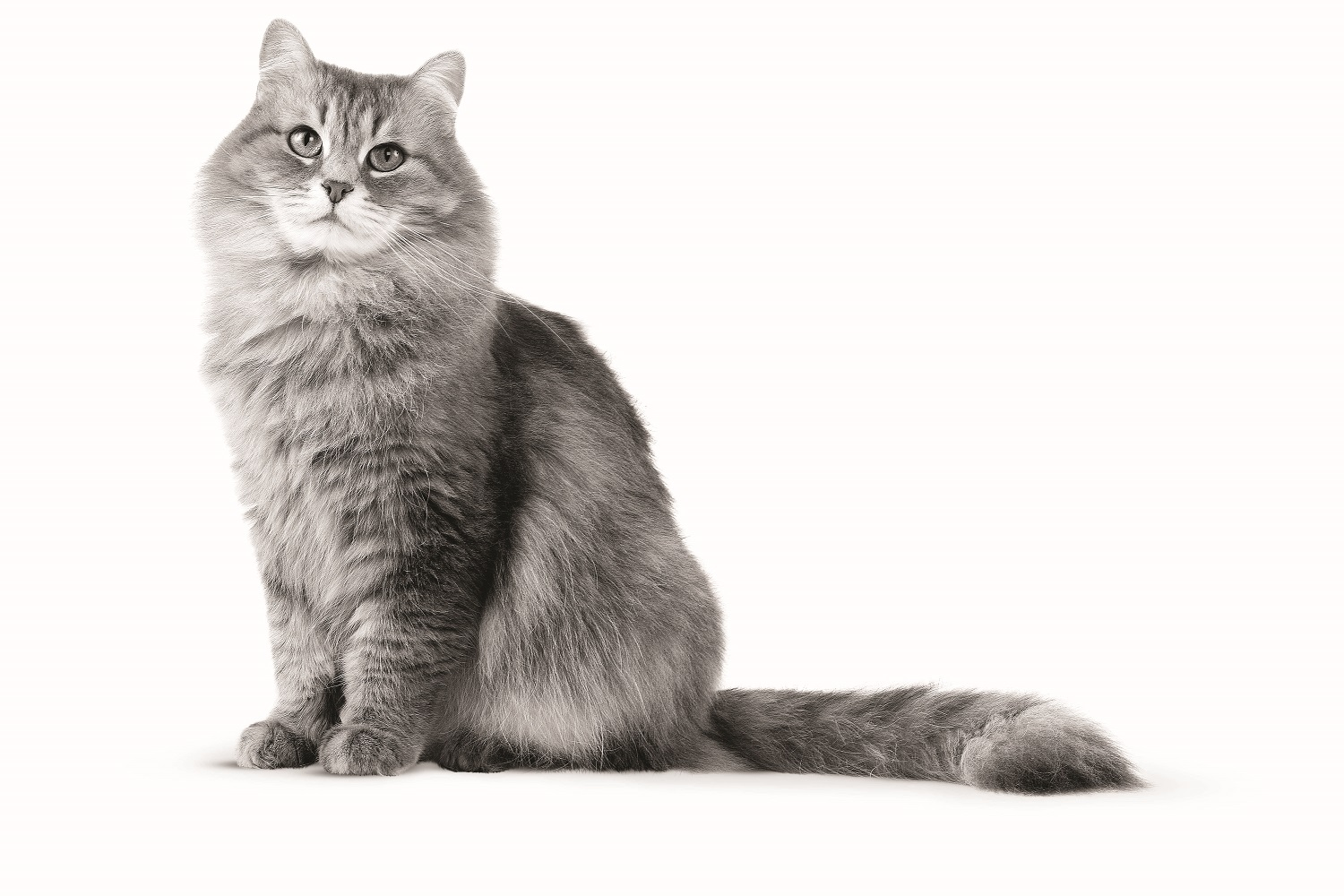 maine coon cat nh