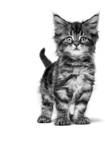 royal-canin-mainecoon-kitten