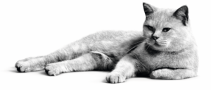 British Shorthair black and white
