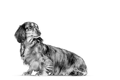dachshund small