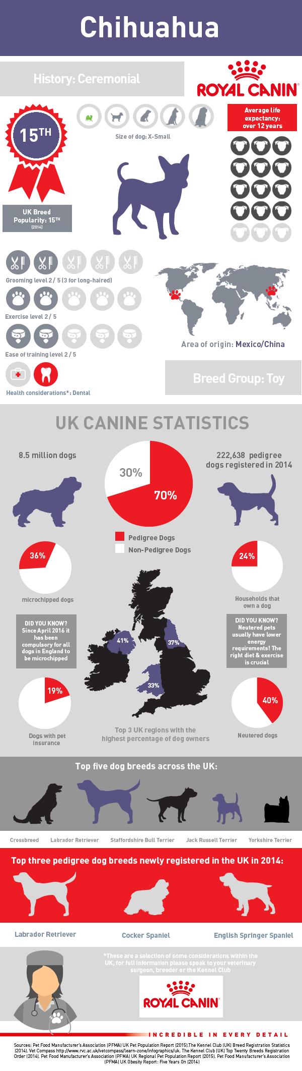 infographic-chihuahua