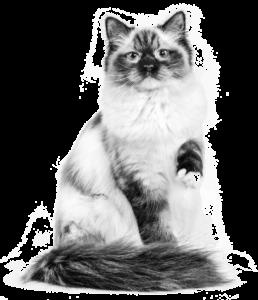 Ragdoll Adult Urinary cat