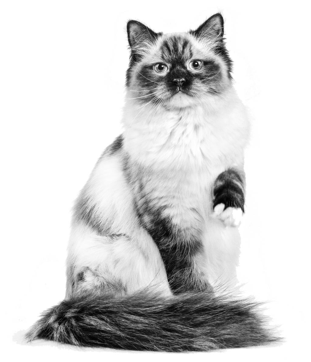 Ragdoll Adult Urinary cat