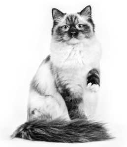 Ragdoll Adult Cat in black and white