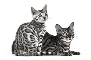 Bengal Cats Black and White