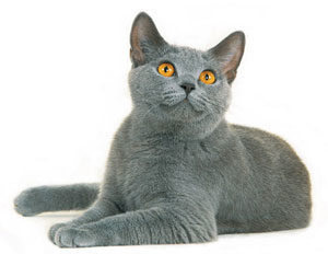 british shorthaircat
