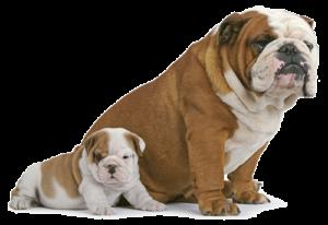 bulldog-2720
