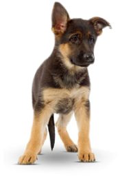 german-shep-puppy