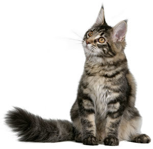 Maine-Coon-ROYAL-CANIN®