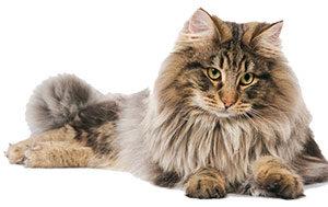 norwegian-cat-image