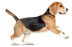beagle_14970-300x197