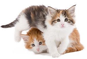 norwegian_kittens