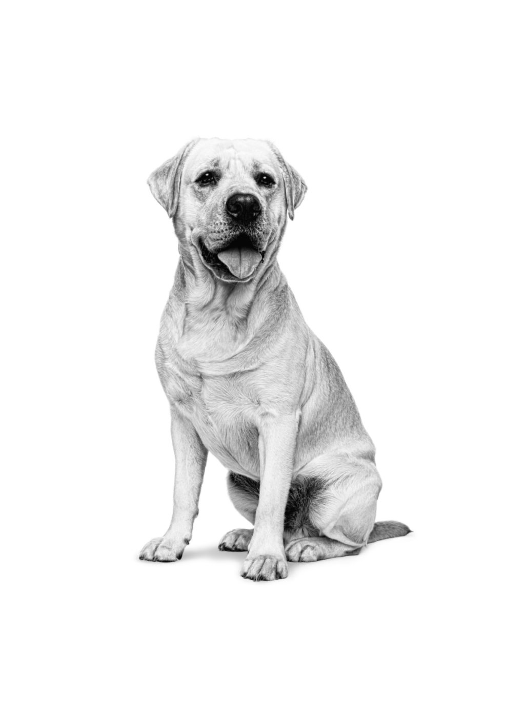Differences Between Labrador and Golden Retriever - ROYAL CANIN®