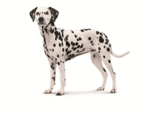 adult-dalmatian-ROYAL-CANIN®