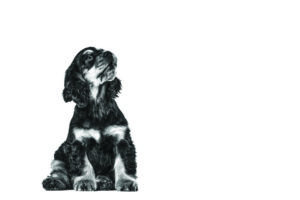 english-cocker-spaniel-ROYAL-CANIN®