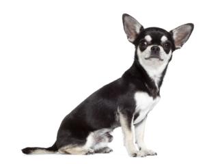 chihuahua-ROYAL-CANIN®