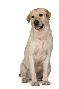 labrador-ROYAL-CANIN®