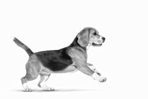 beagle duhayer